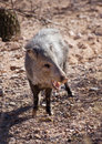 Javelina Stock Photos