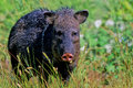 Javelina (Collared Peccary), Peccary angulatus Stock Photo