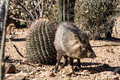Javelina in the desert a or collared peccary stand beside a young saguaro catus amid harsh landscape Stock Images