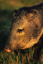 Javelina Portrait Royalty Free Stock Image
