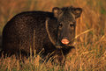 Javelina Standing Broadside Stock Photo
