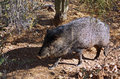 Javelina walks through the desert Stock Photography