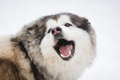 The jaws of the dog malamute on white background at winter time Royalty Free Stock Images
