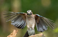 Jay bird garrulus glandarius in flight Royalty Free Stock Image