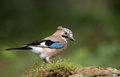 Jay bird garrulus glandarius in a green setting Stock Photo