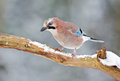 Jay bird garrulus glandarius iin a winter setting Royalty Free Stock Images