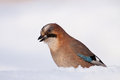 Jay eating white bread jaybird in winter Royalty Free Stock Image