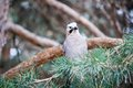 Jaybird sitting on the branch of a pine tree in autumn Stock Photo