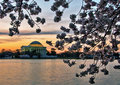 The jefferson memorial and cherry blossoms before sunrise is framed by just dawn during blossom festival in washington d c Royalty Free Stock Image