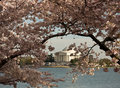 Jefferson Memorial framed by Cherry Blossom Royalty Free Stock Photo