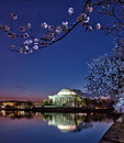 Jefferson memorial framed by cherry blossoms at sunrise the is and reflected in the still water of the tidal basin just before Royalty Free Stock Photography