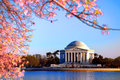 Jefferson memorial and pink cherry trees in bloom thomas presidential monument landmark on west potomac park tidal basin with Royalty Free Stock Photos