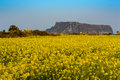 Jeju canola field at seongsan ilchulbong south korea Royalty Free Stock Photo