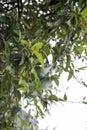 Ooitabi Ficus pumila Royalty Free Stock Photo