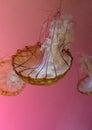 Jelly fish in habitat Royalty Free Stock Photo