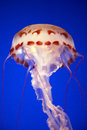Jelly fish monterey bay aqarium california usa Royalty Free Stock Images