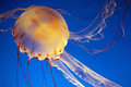 Jelly fish monterey bay aqarium california usa Stock Photo