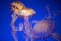 Jelly fish monterey bay aqarium california usa Royalty Free Stock Photos