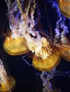 Jelly fish at the perseverance aquarium beautiful jellies Royalty Free Stock Photography