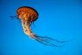 Jelly Fish Portrait Royalty Free Stock Photo