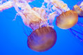 Jelly Fishes Royalty Free Stock Photo