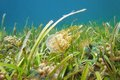 Jellyfish above seabed with seagrass and coral golden medusa mastigias swims caribbean sea panama Stock Image
