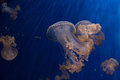 Jellyfish back light underwater close up Royalty Free Stock Photo