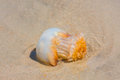 Jellyfish on the beach washed up at low tide Royalty Free Stock Photos