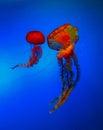 Jellyfish beijing zoo aquarium blue Royalty Free Stock Photo