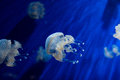 Jellyfish on blue background underwater Royalty Free Stock Photo