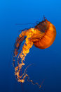 Jellyfish with blue ocean water Stock Photography