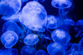 Jellyfish in blue Water Royalty Free Stock Photo