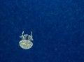 Jellyfish On A Dark Blue Backg...