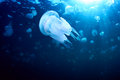 Jellyfish endemic rhizostoma pulmo in the black sea Royalty Free Stock Photo