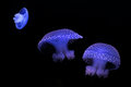 Jellyfish glowing blue against dark background Royalty Free Stock Photos