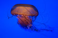 Jellyfish isolated on blue black start northern sea nettle Stock Image