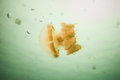Jellyfish Kakaban swimming in Derawan, Kalimantan, Indonesia underwater photo Royalty Free Stock Photo