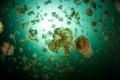 Jellyfish lake millions of golden mastigias papua etpisonii swim in a marine in the republic of palau these are endemic Royalty Free Stock Photos