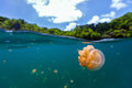 Jellyfish lake split photo of endemic golden in at the republic of palau snorkeling in is a popular activity for Royalty Free Stock Images