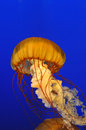 Jellyfish live in blue aquarium Stock Photos