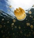 Jellyfish palau lake on the island Royalty Free Stock Photos