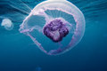Jellyfish in red sea Royalty Free Stock Photo