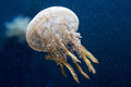 Jellyfish a single brown colored Royalty Free Stock Photos