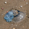 Jellyfish stranded ashore Royalty Free Stock Photo