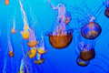 Jellyfish swimming in a downward pattern Royalty Free Stock Photo