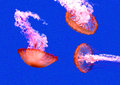 Jellyfish three swimming under water Stock Photography
