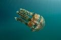 Jellyfish in tropical sea a mastigias papua swims palau s inner lagoon palau micronesia is known for its high marine biodiversity Stock Image