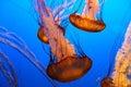 Jellyfish underwater swimming through ocean water Stock Photo