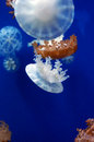 Jellyfish in wuhan polar region ocean world this picture was taken it is Royalty Free Stock Photography