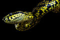 Jerdon's pitviper Royalty Free Stock Photos